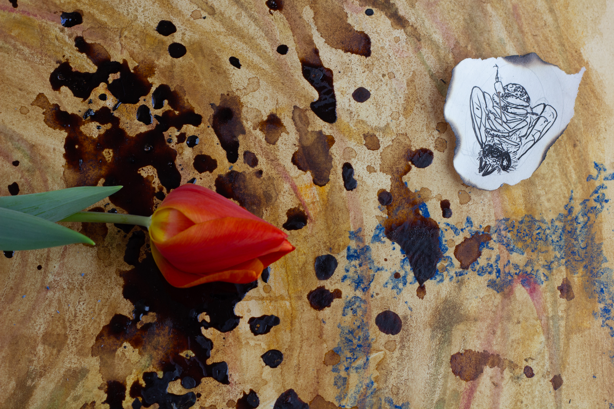 Close-up of the tulip petals and illustration of a dead bee