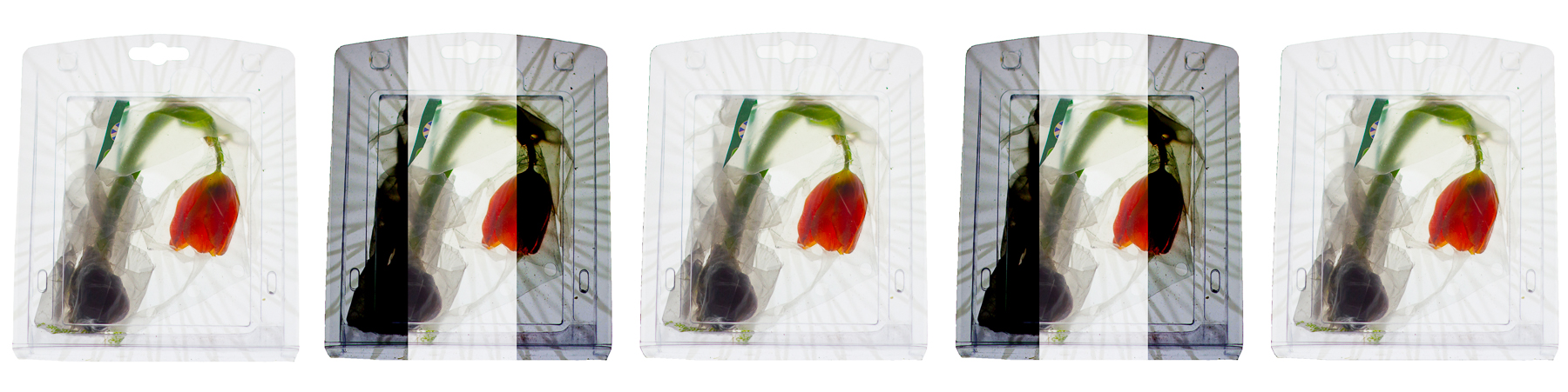 A digital collage with a picture of a tulip in a plastic box
